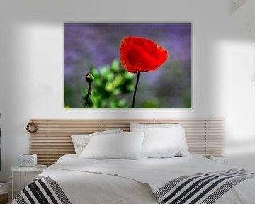Natur genießen : Die Mohnblume von Michael Nägele