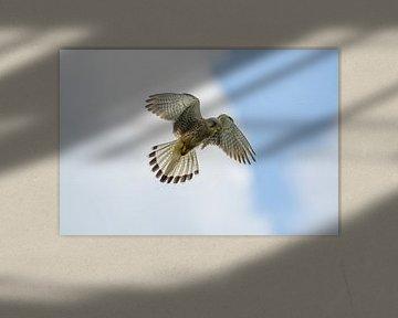Torenvalk / Common kestrel