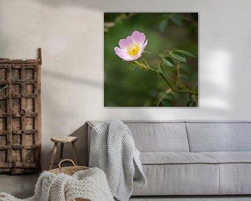 Blüte der Wilden Heckenrose von Fartifos