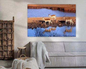 Impala's in Kenia van Marit Lindberg