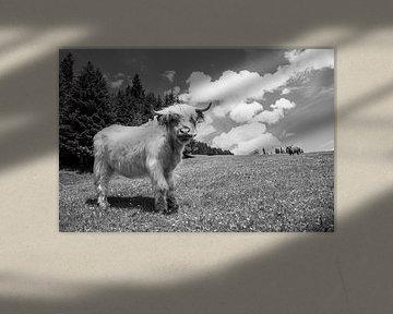Blonde Schotse hooglander op de Col rodela in Val di Fassa, Italie. De foto is zwart wit gemaakt. van Marit Lindberg
