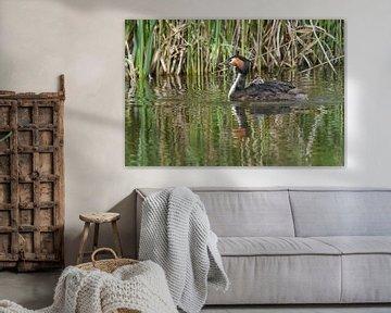 Fuut / Great crested grebe van Henk de Boer