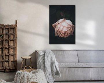 Prachtige roos op een zwarte achtergrond van Yana Spiridonova