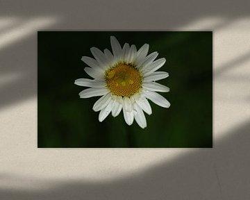 Gänseblümchen Blume mit Tautropfen von Peter Ter Beek