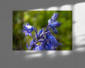 Blühende Waldhyazinthen von Kelly De Preter
