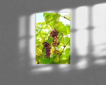 Trossen rode druiven in een wijngaard in herfstlicht van Sjoerd van der Wal