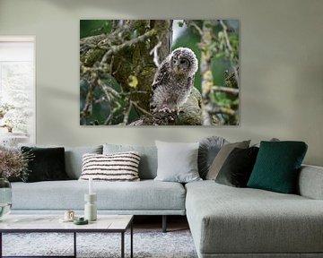 Oeraluiltje in de boom van Vrije Vlinder Fotografie