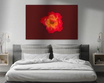 Rote gelbe Rose auf bordeaux / braunem Hintergrund