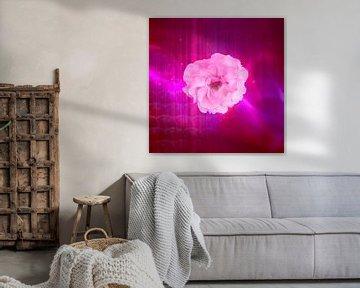 rosa weiße Rose mit Fantasie
