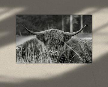 Schotse hooglander 3 van Jan Peter Nagel