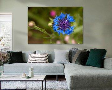 Kornblume auf der Wiese 2 von Flowers by t.ART