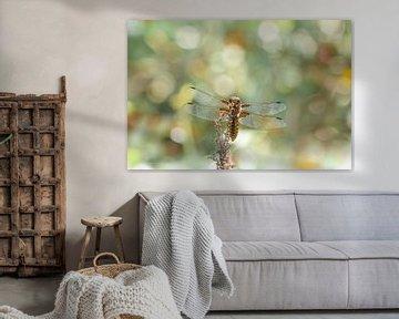 Libelle sur Lucia Leemans