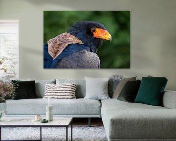 Bateleur (Terathopius ecaudatus) Vogel Nahaufnahme von Edwin Butter