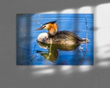 fuut in het water van Stefania van Lieshout