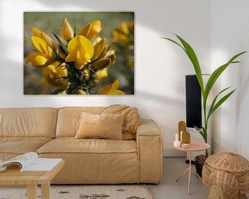 Die Sonne beleuchtet die Blüte eines Ginsters. von Wim vd Neut