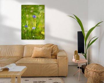 Bloeiende korenbloem in de tuin. van Annemarie Goudswaard