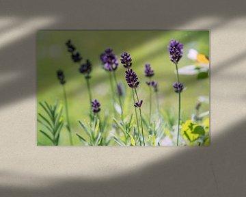 Lavendel im Garten von chamois huntress