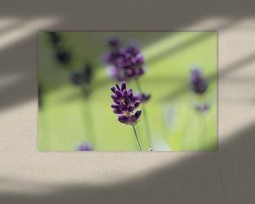 eine einzelne Lavendelblüte im Vordergrund von chamois huntress