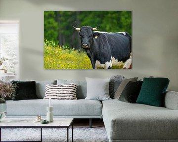 Eine schwarz weiße Kuh mit Hörner auf der Almwiese schaut in die Kamera. von chamois huntress