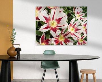 Show Tulip Red and White von David Hanlon