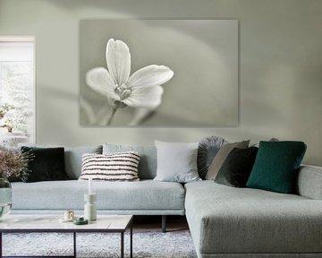 Weißblume von Shutterbalance