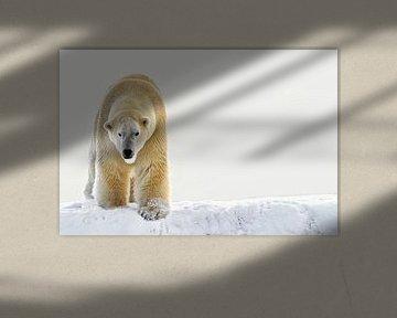 ijsbeer in de sneeuw. van Tilly Meijer