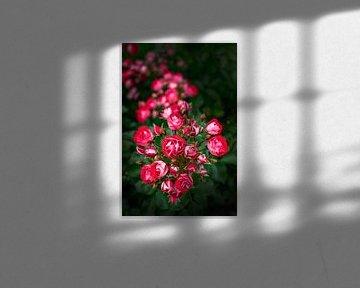 Bos Rode Rozen in het wild