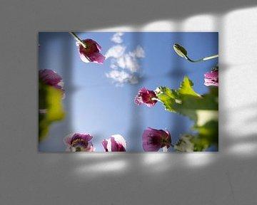 Coquelicot violet, Fleur de coquelicot, Naur et Blossom sur Fotos by Jan Wehnert