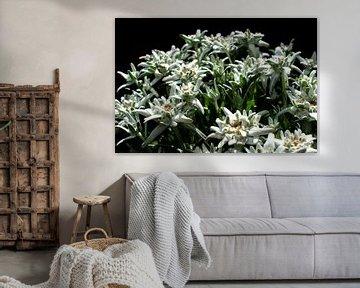 Alpen edelweiss in het zonnetje met zwarte achtergrond van JM de Jong-Jansen