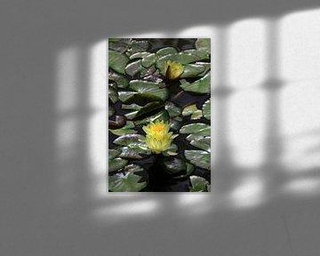 Gelbe Seerosen blühen von Thomas Jäger