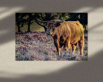 Schotse hooglander van Roy De vries