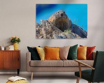 Een marmot in de Hohe Tauern toont geen schuwheid voor de camera.
