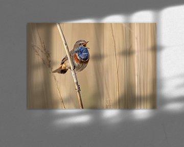 Blauwborst zingend in het riet.