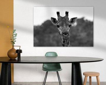 Giraffe in Schwarz und Weiß von Dustin Musch