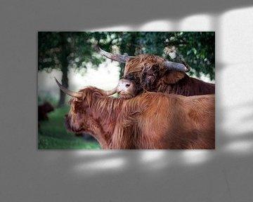 Schotse hooglander stier flirtend met een koe van Peter de Kievith Fotografie