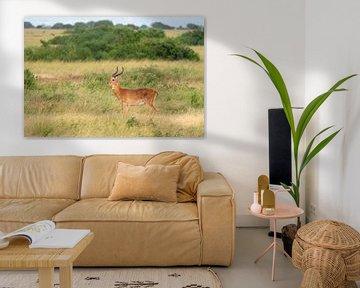 Oeganda-grasantilope (Kobus thomasi), Oeganda van Alexander Ludwig