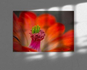 Echinocereus coccineus - Igelsäulenkaktus von Ursula Di Chito