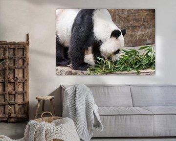 Een Reuzenpanda eet zijn voedsel dat uit bamboe bestaat von Henk van den Brink