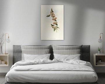 Kokette Kolibri, John Gould von Teylers Museum