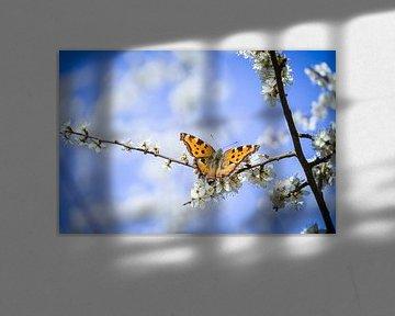 Schmetterling  an Schlehenblüten