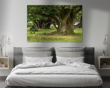 Oude eiken bomen