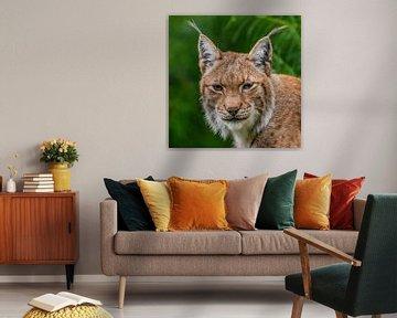 Lynx zoals het hoort. van Rob Smit