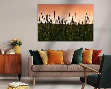 Dünengräser in der orangenen Abendsonne von David Esser