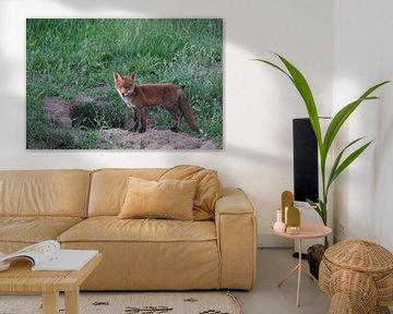 Junger neugieriger Fuchs in seinem Bau von Herman Peters