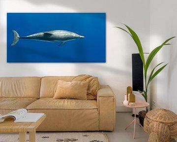 Dolfijn net onder het wateroppervak van Bob de Bruin