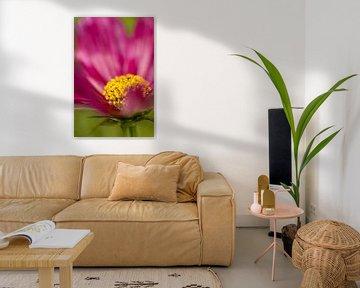 Pink Cosmos Fade van Annika Westgeest Photography