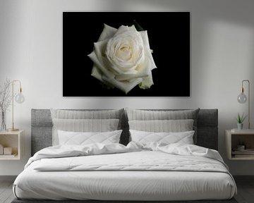 Witte roos op een zwarte achtergrond von Arjen Schippers