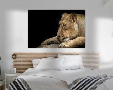 Leeuwin genietend van een stuk vlees van Karin aan de muur