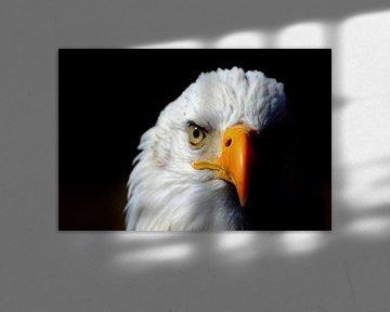 Sea eagle van Annie Middeldorp