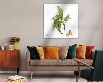 Wolmispel, Eriobotrya japonica van Ria Trompert- Nauta